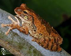 Mexican Treefrog (Smilisca baudinii) (McCall Wildlife Photography) Tags: 2018 belize frog treefrog mexicantreefrog smiliscabaudinii smilisca cayodistrict amphibian nature outside wildlife wildlifephotography mccallwildlifephotography macro nikon night d7000