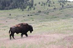 American Bison (Bison bison) 06-13-2009 National Bison Range--loop drive, Sanders Co. MT 3 (Birder20714) Tags: mammals montana buffalo bovidae bison