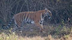Striped wonder (Nagarjun) Tags: nagarholenationalreserve riverkabini tiger tigress bigcat animal wildlife safari