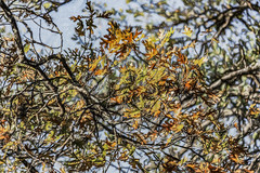 Changes Coming (p) (davidseibold) Tags: america california jfflickr leaf painting photosbydavid plant postedonello postedonflickr redding shastacounty sky tree unitedstates usa
