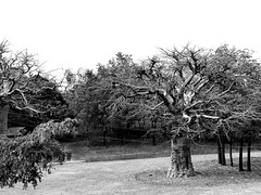 Baobab (7Diana) Tags: baobab ghana kongo upper east region blackandwhite bw tree africa