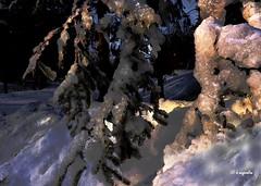 Un mondo incantato... (hmeyvalian) Tags: glace ghiaccio alberoghiacciato frozentree arbredeglaces neige hiver parcnature villedelaval québeccanada