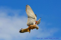 In For The Kill........ (law_keven) Tags: kestrel birds raptors england feathers suffolk photography wildlifephotography wildlife featheryfriday feathery flight
