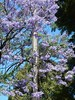 Stobie Among Jacaranda Flowers (mikecogh) Tags: unleypark purple stobiepole flowers telegraphpole jacarandatree