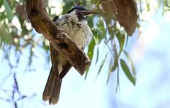Blue Faced Honeyeater 171018 (3) (F) (Richard Collier - Wildlife and Travel Photography) Tags: australia australianbirds birds wildlife naturalhistory bluefacedhoneyeater