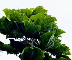 Green Leaves and Sky (pmorris73) Tags: arboretum pennstateuniversity statecollege pennsylvania century 2cb0519 3cb0519 4cb0619 5cb0619 6cb0919 7cb1619 8cb2619 9cc0219 1kc0619