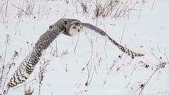Robert Snowy Owl CRC IMG_3643 (Jennz World) Tags: ©jennifermlivick canadianraptorconservancy vittoria ontario canada snowyowl owl raptor winter snow