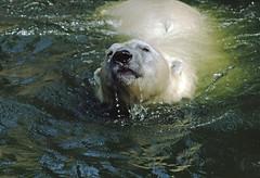 1991 Eisbären Zoo Berlin II (rieblinga) Tags: berlin zoo eisbären gehege wasser schwimmen 1991 west analog canon eos 100 agfa ct100i diafilm e6