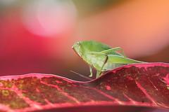Bush Cricket on Garden Croton (SivamDesign) Tags: canon eos 550d rebel t2i kiss x4 300mm tele canonef300mmf4lisusm movo extc25 25mmcaf extensiontube insect fauna backyard grasshopper bushcricket longhornedgrasshopper katydid tettigoniidae