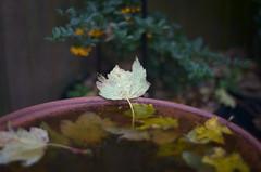 bathe (mannikon) Tags: fuji fujifilm xpro1 konica ar hexanon 5014 50mmf14 autumn leaf