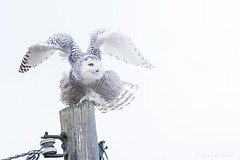 Flaps Up (NicoleW0000) Tags: snowyowl owl bird birdofprey naturephotography wildlifephotography wild wildlife highkey lensflare