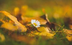 Autumn and flower ... (Julie Greg) Tags: autumn autumn2018 colours canon nature nautre flower leaf leafs park