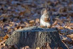 DSC_9741 (vovadvd) Tags: белки щукино squirrels nikon nikond750 tamron tamron70200g2