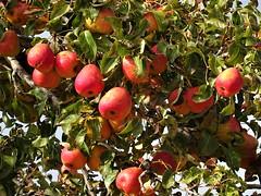 The last before winter comes. (Ia Löfquist) Tags: crete kreta hike hiking vandra vandring walk walking wander autumn höst apple äpple