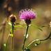 late flowering knapweed