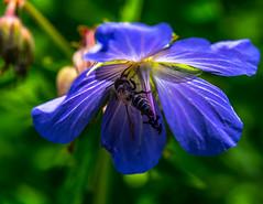DSC_2667 (Michael Mckinney (Find my Twitter @MMckinneypho) Tags: macro nature close up nikon flowers flora garden spring calgary alberta canada