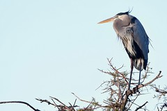 Great Blue Heron (bmasdeu) Tags: great blue heron bird perched morning florida wetlands