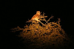 Owl at night (JH Byrne) Tags: kruger national park safari jeep 4x4 awd road rhino rhinoceros photograph photographer window mammal 15000000 years old john byrne crocodile bridge h sunrise leopard lioness lion cat herbivore predator south africa wildlife horn safe safety august owl eagle