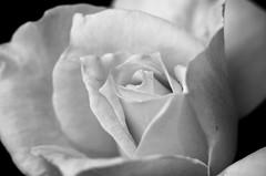 Monochrome Rose (s.d.sea) Tags: rose flower yellow bloom petals macro pentax k5iis issaquah washington washingtonstate wa seattle eastside klahanie spring summer pnw pacificnorthwest plants garden plant nature grow blossom floral flora flowers roses