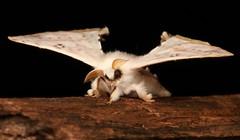 Bombycid Silk Moth (Penicillifera cf. tamsi, Bombycidae) (John Horstman (itchydogimages, SINOBUG)) Tags: insect macro china yunnan itchydogimages sinobug entomology canon moth black bombycidae lepidoptera head fb