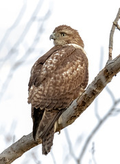 Red-tailed Hawk (tresed47) Tags: 2018 201812dec 20181204bombayhookbirds birds bombayhook canon7dmkii content delaware fall folder hawk peterscamera petersphotos places redtailedhawk season takenby us
