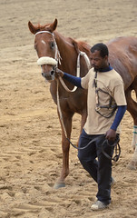2016-04-22 (85) r10 #7 Redheaded Stranger headed for the barn (JLeeFleenor) Tags: photos photography md maryland marylandracing marylandhorseracing outside outdoors horses thoroughbreds equine equestrian cheval cavalo cavallo cavall caballo pferd paard perd hevonen hest hestur cal kon konj beygir capall ceffyl cuddy yarraman faras alogo soos kuda uma pfeerd koin حصان кон 马 häst άλογο סוס घोड़ा 馬 koń лошадь