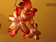#Schlumbergera (RenateEurope) Tags: renateeurope iphoneography blooming christmas flowers flora schlumbergera awesomeblossoms