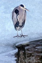 Great blue heron (Fotosketcher) on Shuswap Lake, BC (clive_bryson) Tags: bird greatblueheron winter shuswaplake britishcolumbia fotosketcher canada clivebryson ice