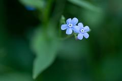 Forget-me-not (Tashata) Tags: macro nature plant botanical blue green colors closeup outdoor pentax petals light lines leaf lightness flowers pentaxk01 smcpentaxdfamacro100mmf28wr