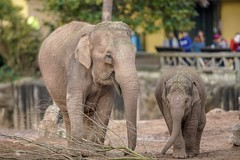 Chesterzoo (Davehux) Tags: bokeh stunning elephant chesterzoo zoo chester f28 400mm canon sony