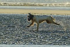 Running Around (ianbartlett) Tags: 365 outdoor wildlife nature birds flight monochrome sea sand water dogs groynes drone landscape light colour seal