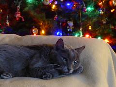 Callisto (alansurfin) Tags: gray cat kat katze kitty feline christmas gatta pet