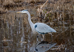 Stalking in the marsh (tresed47) Tags: 2018 201812dec 20181204bombayhookbirds birds bombayhook canon7dmkii content delaware fall folder greatblueheron heron peterscamera petersphotos places season takenby us
