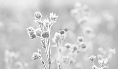Frosty morning ..... (Elisafox22) Tags: elisafox22 sony nex6 helios442 helios 258 8blade vintagelens hmbt monochromebokehthursday frost frosty hoarfrost bright sunshine seeds seedheads monotone shadows bw monochrome blackandwhite light bokeh snow dof patterns textures winter outdoors elisaliddell©2019