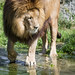 Lion with paws in the water