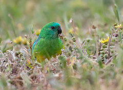 376A1137 (bon97900) Tags: 2018 bordertown birds redrumpedparrot southeast southaustralia