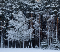 contrast (renatecamin) Tags: tree winter snow forest