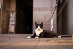 猫 (fumi*23) Tags: ilce7rm3 sony street sel55f18z sonnar katze neko gato cat chat a7r3 animal emount 55mm sonnartfe55mmf18za zeiss bokeh dof depthoffield ねこ 猫 ソニー