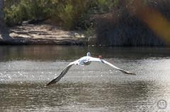 IMG23543 (bshinkara) Tags: balboawildlifereserve wildlife wildlifephotography animals bird birds pelican americanwhitepelican americanwhite pelecantuserythrorhynchos