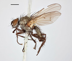 Aricia pullula Zetterstedt, 1845 (Biological Museum, Lund University: Entomology) Tags: zetterstedt diptera anthomyiidae aricia pullula anthomyia liturata mzlutype00488 taxonomy:binomial=ariciapullula