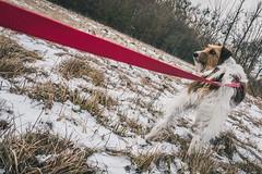 2019-01-26_07 (vond.one) Tags: vond g80 g85 panasonic lumix 1260 természet nature tél winter kutya dog