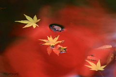 The tears of autumn (keiko*has) Tags: pond autumnleaves 2dwf leaf droplet reflection 池 秋 紅葉 表面張力 映り込み