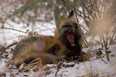 Waking Red Fox (markvcr) Tags: fox dog canine winter forest yawn animal mammal wildlife alberta canada