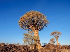 P1118595-LR (carlo) Tags: panasonic g9 dmcg9 africa africanlandscape namibia keetmanschoop quivertreeforest quivertree alberofaretra