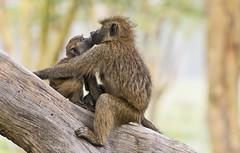 A kiss to mommy (paolo_barbarini) Tags: monkeys family mom cub kiss animals mammals africa nature wildlife kenya nakuru baboons safari love