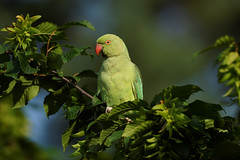 Rose Ringed Parakeet (1/2) : posing for me in the green leaves (Franck Zumella) Tags: perruche perroquet collier vert rouge parakeet rose ringed 앵무새 bird oiseau wildlife nature green yellow jaune animal red food summer eat beak close closeup portrait a7s 150600 tamron color couleur