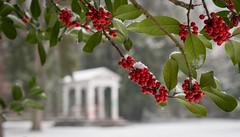 Ilex 2 (KaAuenwasser) Tags: ilex stechpalme schnee winter rot beeren blätter natur pflanze schlossgarten karlsruhe