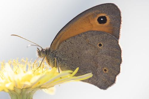 Myrtil de Lesbos (Maniola megala) Turkish Meadow Brown