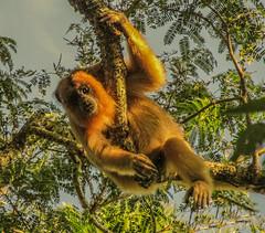 Mono Carayá o Aullador, en la selva a orillas del río Parana, Argentina.   Mono Carayá ou Aullador, dans la jungle sur les rives de la rivière Parana, en Argentine. (alejaviveg) Tags: mono animal selva verde agua arbol parana argentina rio monky