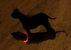 Silhouette a la Shelbé (TAG1138) Tags: canine electric glowing neon collar glow dirt night contrast light rescue pitbull silhouette shadow pet dog